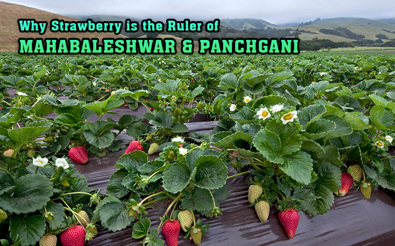 Why Strawberry is the Ruler of Mahabaleshwar & Panchgani - Economy and Real Estate